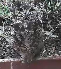 PPO Africam PPO- Potted Plant Owl cam- this is momma