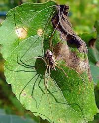 hämähäkki laskeutuu alas lehdeltä