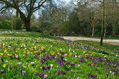 RHS Garden Wisley - A bank of crocuses.