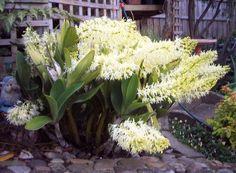 Dendrobium Sanderae Var Major | Dendrobium speciosum or Thelychiton speciosus
