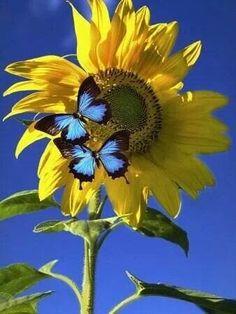 Sunflower and blue butterflies