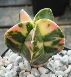 Astrophytum myriostigma cv. Variegata
