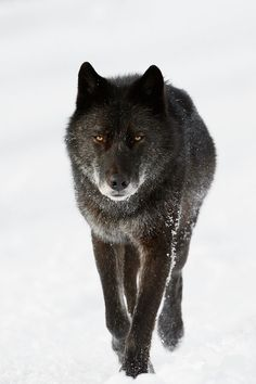 "Wild black wolf travelling on a road during winter in Banff National Park, Alberta, Canada. ""Delinda"" was Banff's most famous wolf until she was hit by a car in Beautiful Creatures, Animals Beautiful, Cute Animals, Wild Animals, Baby Animals, Animal Photography, Nature Photography, Timberwolf, Canadian Wildlife"