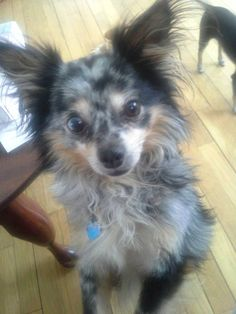 This 11 pound, long-hair Chihuahua/Papillon mix plays well with other dogs his size and loves belly rubs. #rescuedogs