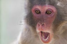 Picture of the face of a monkey with a surprise expression Stock Photo