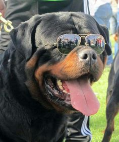 What a cool Rottie!