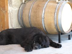 Every winery needs a wine dog.