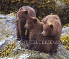 8x10 'Triplet Alaskan Brown Bear Cubs' Fine Art Photography Print