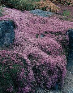 Tread on me creeping English Thyme. Thymus Serpyphylum. Fast growing, versatile, and durable groundcover; withstands being trampled, laid on and abused; varieties offer the most abundant and colorful flowers available; attracts butterflies; fragrant and evergreen foliage is hardy in the harshest of winters; drought tolerant; deer and rabbit resistant.