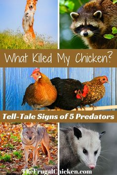The signs that coyotes, raccoon, opossums, dogs, and hawks have killed your chickens. #chickens