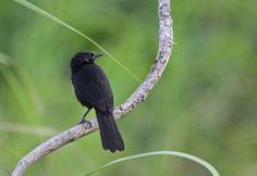 Anumará (Curaeus forbesi): espécie ameaçada de extinção. Endangered specie.