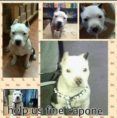 Pibbles & More Animal Rescue, Inc - PMAR SOS- BRONX NY- STOLEN PUPPY Capone is only 4 months old, and was stolen out of his owners work van @ 180 Webster Street Bronx, NY. His owner is devastated and is offering a $5000 reward for his safe return! Contact Jamil at 347-971-9644 or email jdiabortiz@gmail.com. ALL CALLS ARE CONFIDENTIAL. He just wants his little angel SAFE AND HOME! SHARE SHARE SHARE!!!! Black And White Dog, White Dogs, Doberman Rescue, Pet Adoption, Animal Adoption, 4 Month Olds, Losing A Dog, Find Pets, Love Pictures