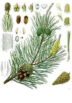 When Pine is blended with cypress and a citrus oil, it can bring a wonderful forest scent to a room that is enjoyable any time of the year, especially in cooler weather. Enjoy the scent as it disinfects.