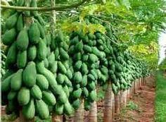 Planta de Papaya