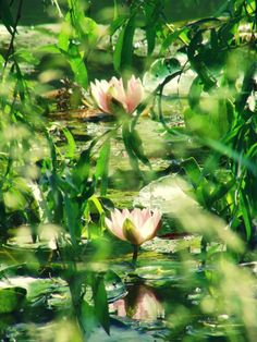 Waxy lilies and pads in a delicious-looking pond.