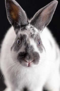 Meet Luke, an adoptable English Spot Rabbit | Norwalk, CT | Say hello to Luke, and join him in an adventure. This handsome little boy is growing into a lovely...