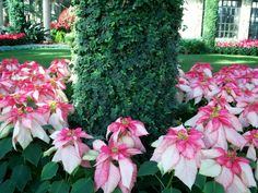 christmas flowers pinterest | Christmas flowers.