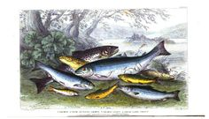 Salmon and trout. A History of the Earth and Animated Nature, Vol. 2, by Oliver Goldsmith
