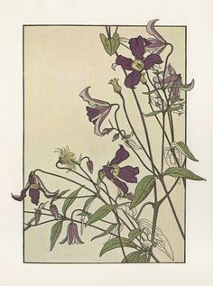 Clematis ▫ Flower Study in the Art Nouveau Style ▫ Artist probably J Foord. Research ongoing