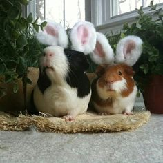 Easter bunny Guinea pigs