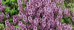 Mother of Thyme seeds - Garden Seeds - Herb Seeds