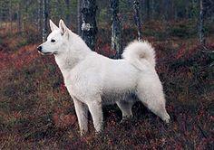 Swedish White Elkhound / Svensk Vit Älghund