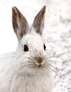 """Snowshoe Hare"" by Jim Cumming, via 500px."