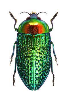 iridescent | mother-of-pearl | gleaming | shimmering | metallic rainbow | shine | Stigmodera gratiosa