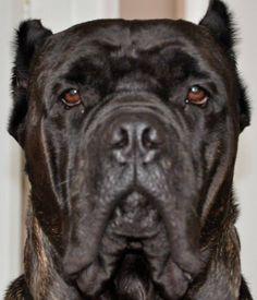 #cane #corso Mo