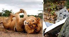 Resultado de imagem para grandes felinos