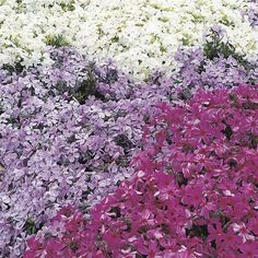 Try Creeping Phlox...Red Creeping Thyme, and Mazus for some low-maintenance ground covers that suppress weeds