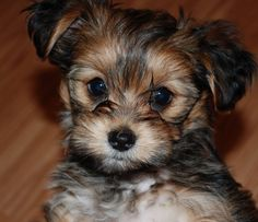 Another Cutie! -Shorkie: shih tzu Yorkie (Sorry - I'm pinning on my board Puppies & Dogs)
