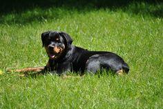 Rottweiler puppy Michonne