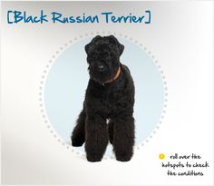 The Black Russian Terrier (BRT) is actually not a terrier at all, having descended from a mix of breeds including Standard and Giant Schnauzers, Newfoundlands and the now-extinct Russian Water Dog.