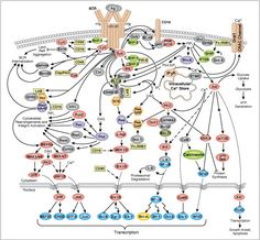 CST - B-Cell Receptor Signalling Pathway