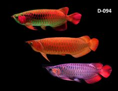 Arowana color variations Tropical Freshwater Fish, Tropical Fish Tanks, Freshwater Aquarium Fish, Fish Aquariums, Colorful Animals, Colorful Fish, Fish Background, Image Of Fish, Dragon Fish