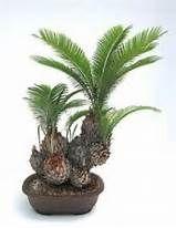cycad bonsai - - Yahoo Image Search Results
