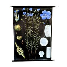 Flower Wall Decoration, Blue Flax, Educational Botany Map, German... (£205) ❤ liked on Polyvore featuring home, home decor, wall art, map wall art, flower home decor, map home decor, c-map charts and blue wall art