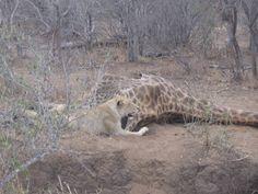 Lion giraffe kill 3 Safari Adventure, African Safari, Giraffe, Lion, Amazing, Animals, Leo, Giraffes, Animales