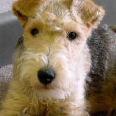 Lakeland terrier pup This really reminds me of Winston! Perro Fox Terrier, Wirehaired Fox Terrier, Wire Fox Terrier, Airedale Terrier, Fox Terriers, Sweet Dogs, Cute Dogs, Lakeland Terrier Puppies, Wire Haired Terrier