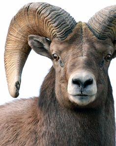 Ready for Battle! Bighorn sheep