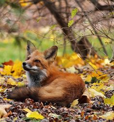 "beautiful-wildlife: ""Fox in the leaves by Ann Brokelman """