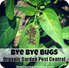 Read Bye Bye Bugs: Organic Vegetable Garden Pest Control to learn recipes that will help you in your organic vegetable garden! #OrganicGardening