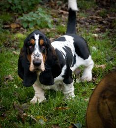 """Basset Hound is a short-legged breed of  France and are scent hounds that were originally bred for the purpose of hunting rabbits and hare. Their sense of smell for tracking is second only to that of the Bloodhound. Basset is derived from the French word bas, meaning """"low"""", with the attenuating suffix -et, together meaning """"rather low"""". Basset Hounds are usually Bicolors or Tricolors of standard hound coloration."""