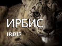 Ирбис — Irbis