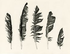 """Image Spark - Image tagged """"Pen and ink"""", """"Drawing"""", """"feathers"""" - chrisshaddock Crow Feather, Feather Art, Bird Feathers, Black Feathers, Ruffled Feathers, Feather Painting, Blue Feather, Feather Design, Rabe Tattoo"""