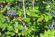 Oregon grape has a place in every herbalist's apothecary. It possesses unique antimicrobial activity and will be increasingly important in our post-antibiotic world. It also offers liver support, cardiovascular support, and blood glucose regulation. Read on for more information on this treasure...