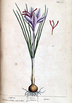 Safran - Permaculture Plants: Saffron been wanting to try growing my own saffron for a while now Saffron Plant, Saffron Crocus, Saffron Flower, Plant Illustration, Botanical Illustration, Botanical Flowers, Botanical Prints, Botanical Drawings, Growing Herbs