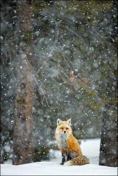 Red Fox by Radomir Jakubowski