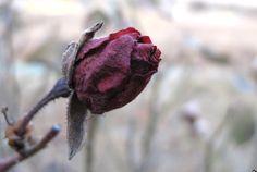 꽃봉우리   꽃피우지 못한 장미꽃 봉우리...